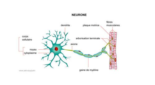 Atteinte des motoneurones