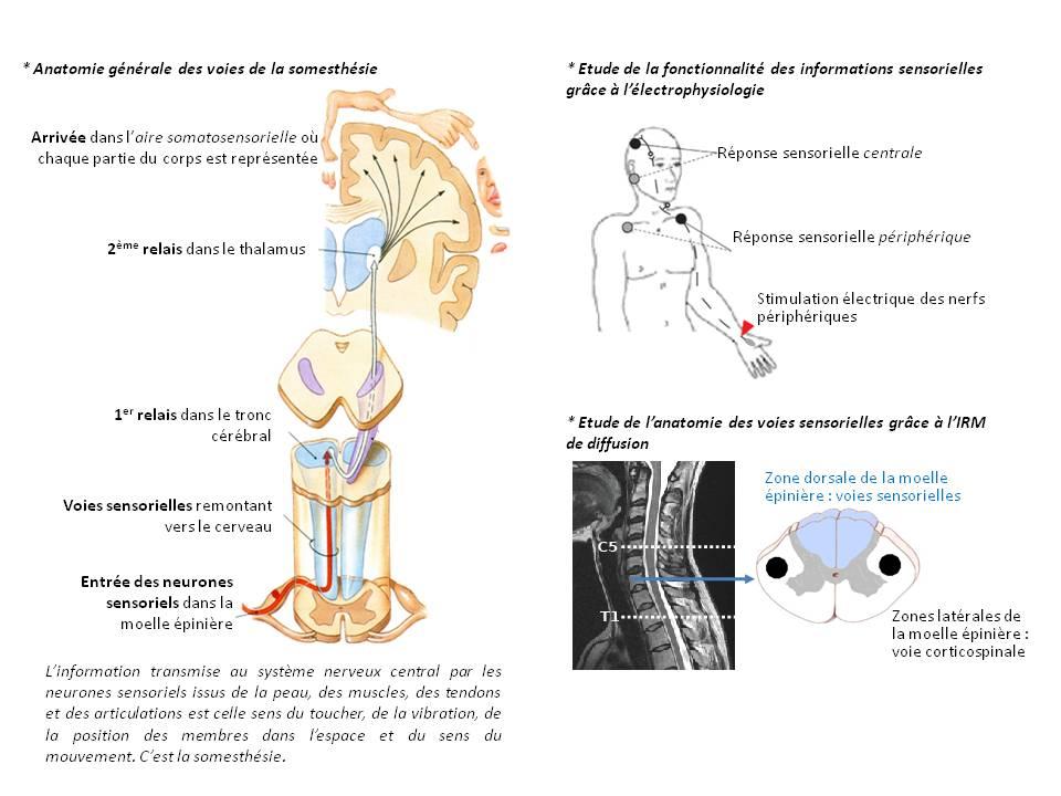 AS n12 Fig1 méthodes étude voies sensitives